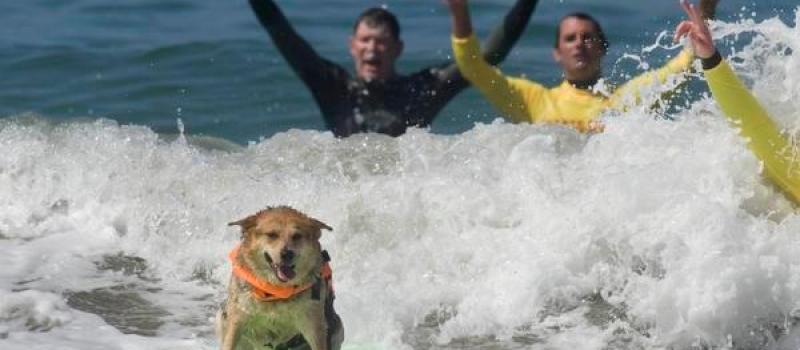 Wedstrijd voor surf honden